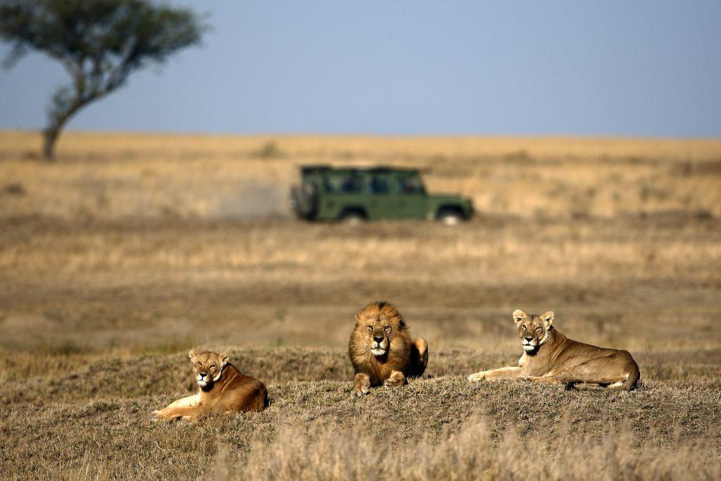 אריות באפריקה | צילום: Shutterstock