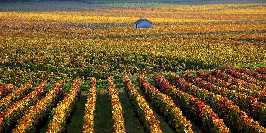 כרמי ענבים בחבל בורגונדי בצרפת. צילום: shutterstock